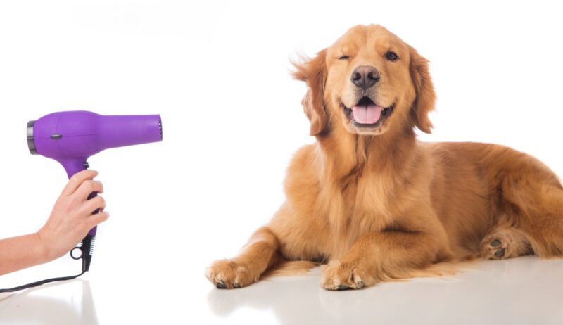 golden retriever grooming