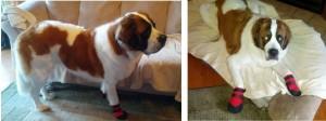 St. Bernard, Karma wearing dog booties
