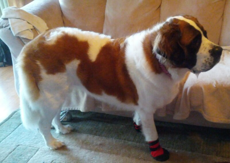dog boots for scratching