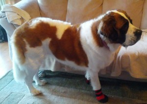 St. Bernard, Karma is Wearing Dog Booties