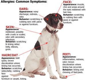 seasonal dog allergies