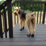 Schnauzer in dog boots