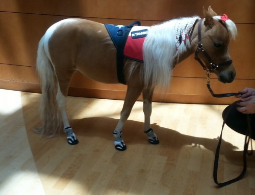 Miniature Service Horse Wears Dog Boots!