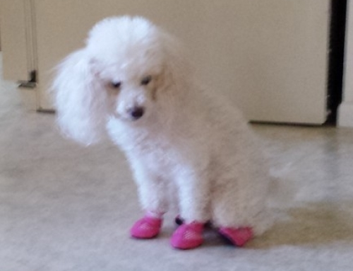 Miniature Poodle Tries Booties For The First Time!