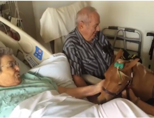 Miniature Therapy Horse Comforts Patients at Sutter Hospitals