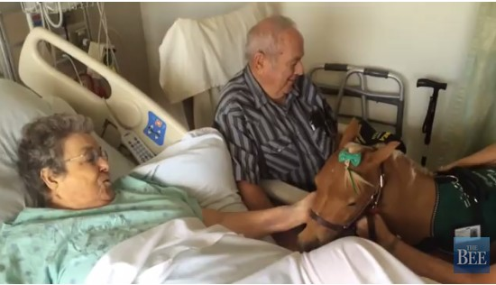 service horse comforts patients
