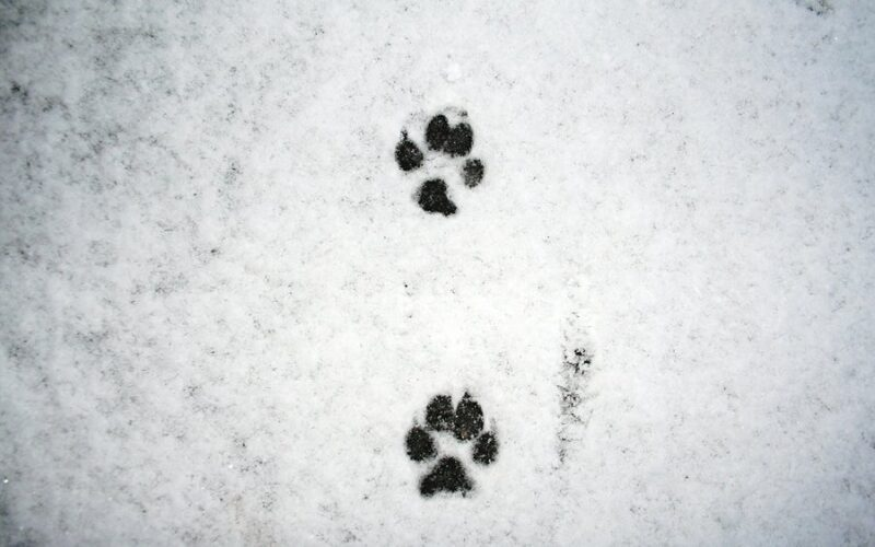snow dog trail