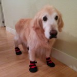 Golden Retriever Booties