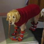 dog wearing tall boots and coat
