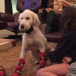 goldendoodle booties