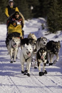 dogs sledding in the Iditarod race