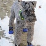 kerry blue terrier in boots