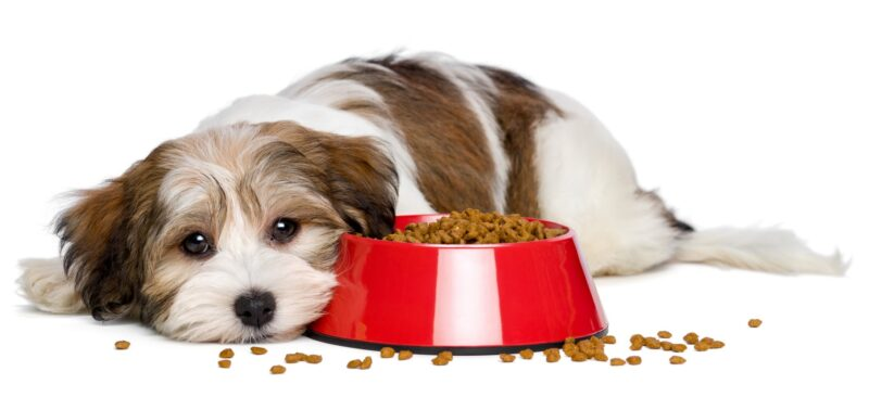 dog food allergy
