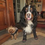 bernese mountain dog boots