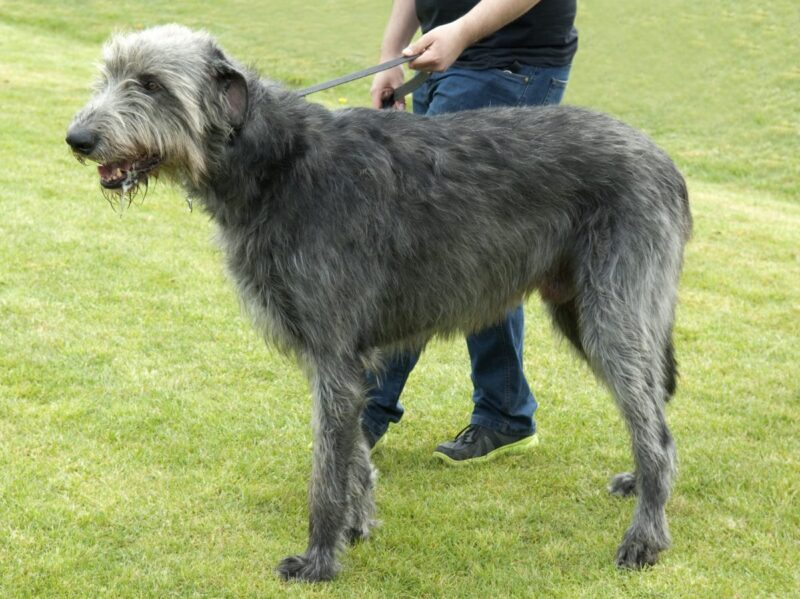 Irish Wolfhound - Dog Breed Bio from Alldogboots