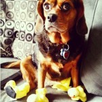 beagle in dog bunny slippers