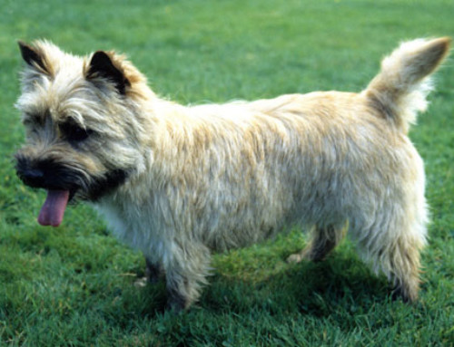 Breed Bio – Cairn Terrier