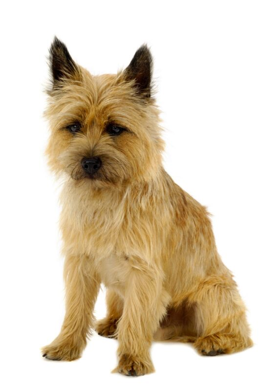 Toto Dog Breed