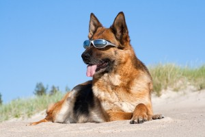 German shepherd laying in sun glasses on sand