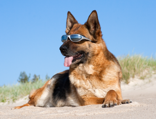 How to Protect Your Dog From Sunburn