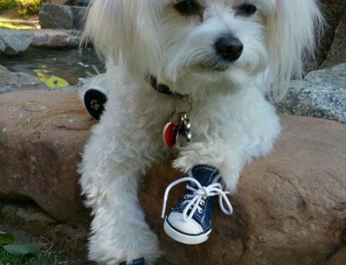 Therapy Dog Does Tricks in Sneakers!