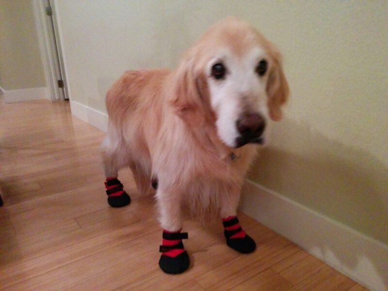 Golden Retriever Wears Booties For Added Traction