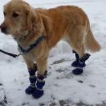 golden retriever dog boots