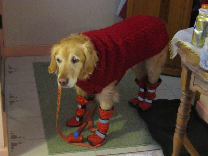 Golden Retriever Wears Tall Booties For Snow Alldogboots