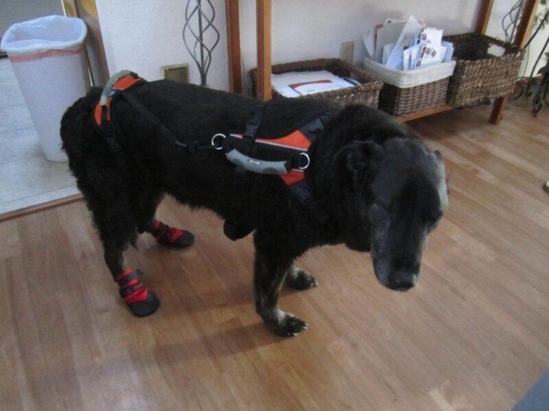 Elderly Labrador Retriever Wears Non Slip Booties