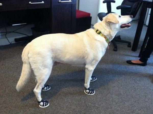 Golden Retriever In Denim Dog Sandals Alldogboots Blog