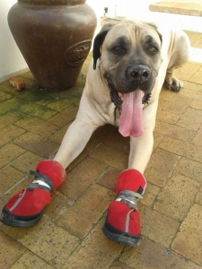 boerboel-e1412184422429-compressed
