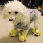 poodle wearing duckie slippers