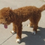 Poodle Wearing Dog Sandals | Sally