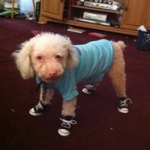 Poodle Wearing Dog Sneakers | Junior