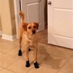 Lab Wearing Dog Snow Boots | Ranger
