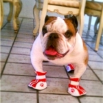 Bulldog Wearing Summer Dog Shoes | Deacon