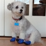 Poodle Wearing Mini Meshies Dog Booties | Danny