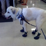 Service Dog Wearing Neopaws Dog Boots | Baby