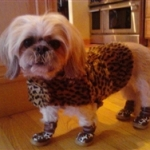 Shih Tzu Wearing Leopard Dog Booties | Jetta