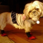 Shih Tzu Wearing Meshies Booties | Jetta