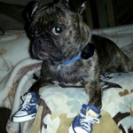 Dog Sneakers on a Bugg Boston Pug Mix
