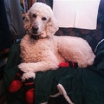 Poodle Wearing Indoor Dog Booties | Rupert