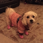 Pink Booties for a Shih Tzu