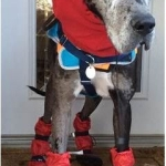 great dane boots