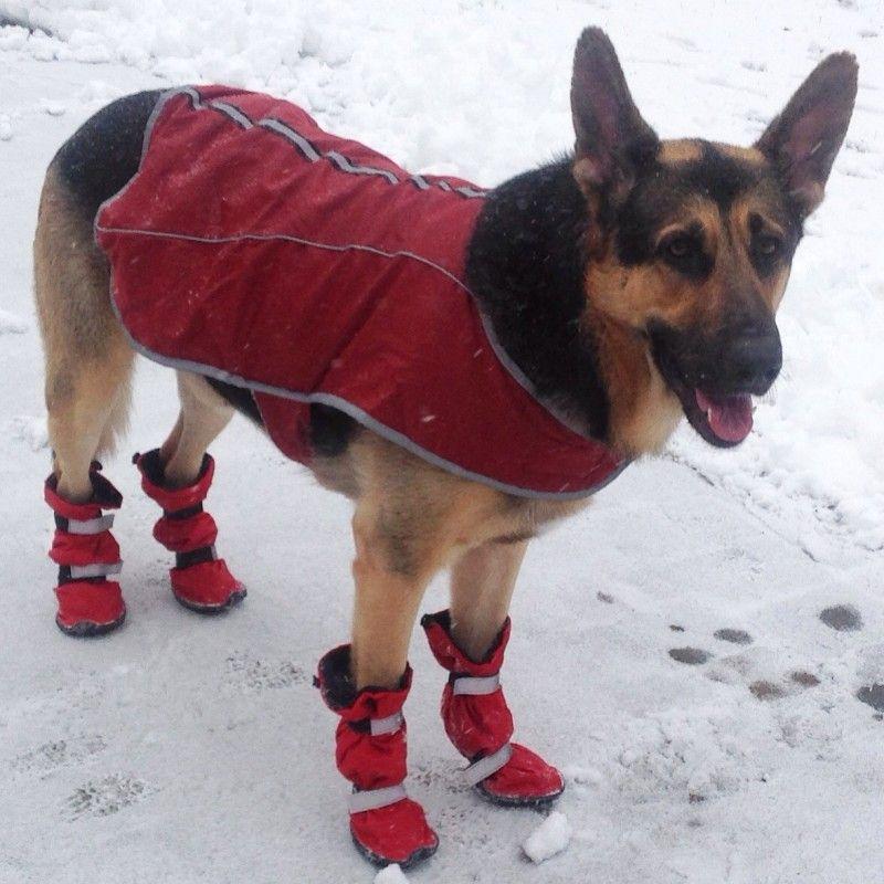 German Shepherd Wears Tall Winter Dog Boots