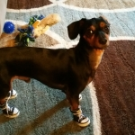 dachshund in dog sneakers