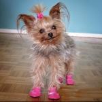 yorkie wearing dog booties