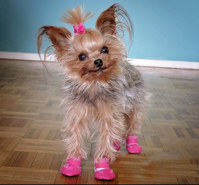 Tiny Dog Booties For A Yorkie