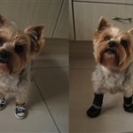 Yorkshire Terrier Tennis Sneakers & Snow Boots | Coco Fisher