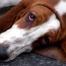 sad basset hound